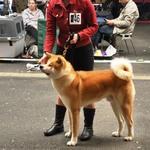 2014-05 WUAC Akita Show Hamm-4