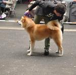2014-05 WUAC Akita Show Hamm-7