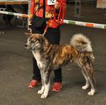 2014-05 WUAC Akita Show Hamm-11