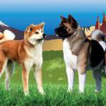 Germany: Akita Club e.V. 40th Anniversary Show